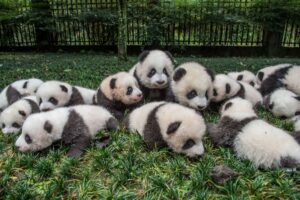 panda-cubs-group